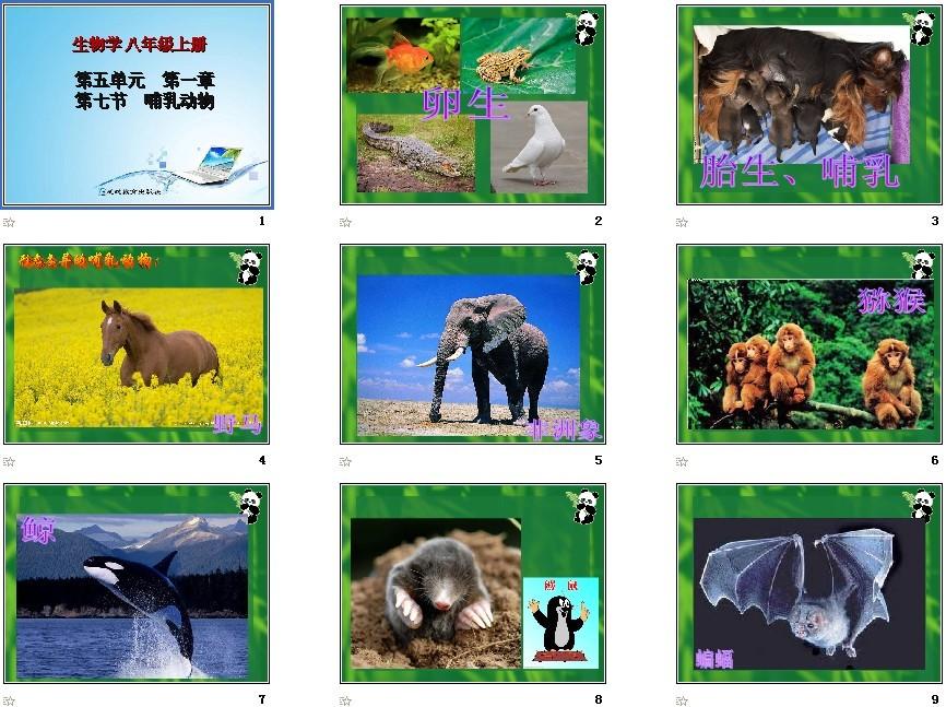 八年级哺乳动物ppt_第七节哺乳动物课件初中生物人教新课标标准